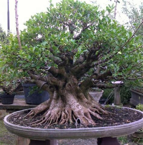 bonsai kimeng keindahan tanaman hias harga