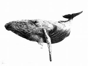 Humpback Whale sketch | на стену | Pinterest | Humpback ...