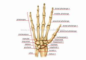 Physio Health  Finger And Hand Anatomy  And Grip