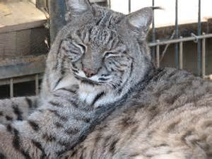 cat and mix american white bobcat hybrid cats quotes