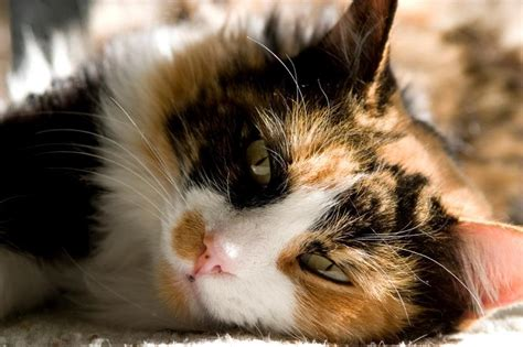 calico names calico cat personality memes
