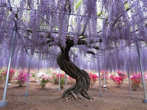 japanese wisteria tunnel cheechow wisteria tunnel at kawachi fuji gardens kitakyushu japan