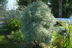 Quand Tailler Un Saule Crevette : quel est cet arbre arbuste svp 22 messages ~ Melissatoandfro.com Idées de Décoration