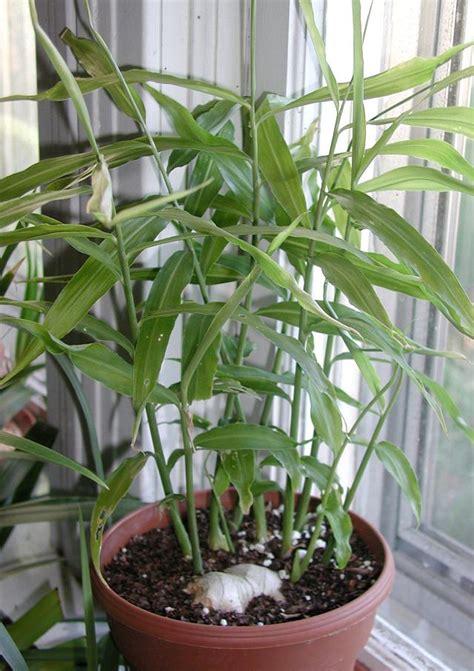 growing ls for indoor plants uk how to grow in pot growing indoors