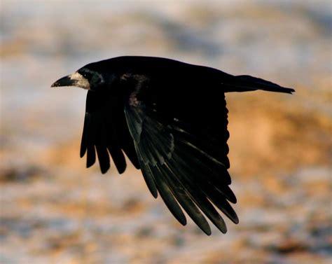 siege courtepaille comment bien préparer une chasse aux corvidés