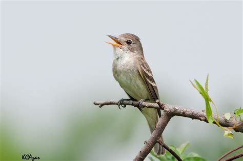 Willow flycatcher - song / call / voice / sound.