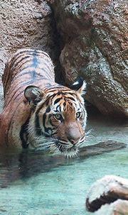 Tiger Eye | Such a beautiful animal | Michelle Fryer | Flickr