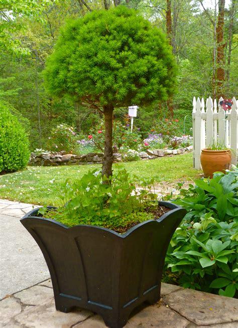square concrete planter how not to kill a alberta spruce deb 39 s garden
