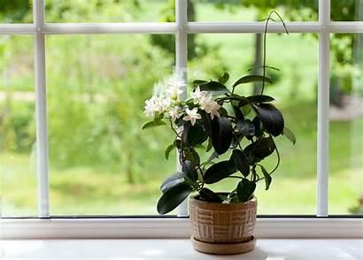 Jasmine Indoor Indoors Care Flowers Growing Houseplant