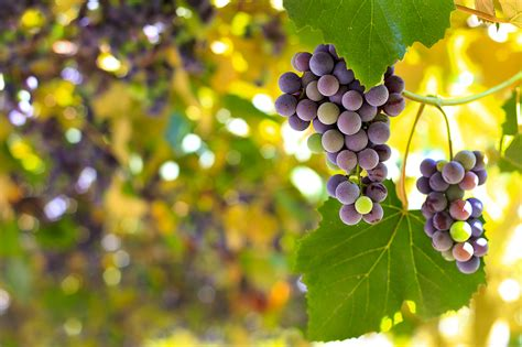 climate change brings early grape harvests  french wine
