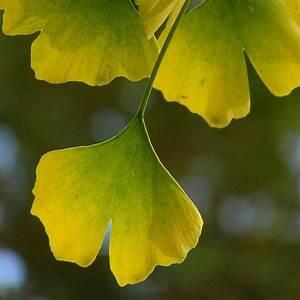 Definition ginkgo ginkgo biloba arbre aux 40 ecus for Plan de maison original 15 definition ginkgo ginkgo biloba arbre aux 40 ecus