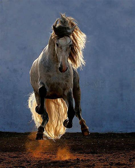 andalusian horse arab