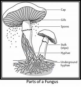 Cell Label Diagram Fungus