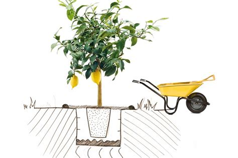 planter un citronnier en pot comment planter un citronnier fete du citron 174