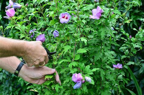 Blattkaktus Beste Pflege Fuer Eine Schoene Bluete by Hibiskus Alle Tipps F 252 R Die Perfekte Bl 252 Te Plantura