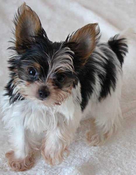 yorkie yorkshire terrier puppy  sale  boca raton