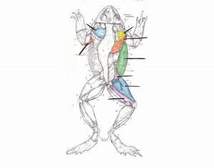Frog  Muscular System  Dorsal View  Csustan Zoology 1050  2008