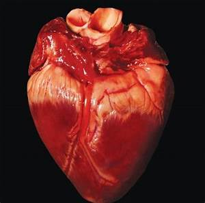 real human heart | Coração | Pinterest | 39;t, Results and ...