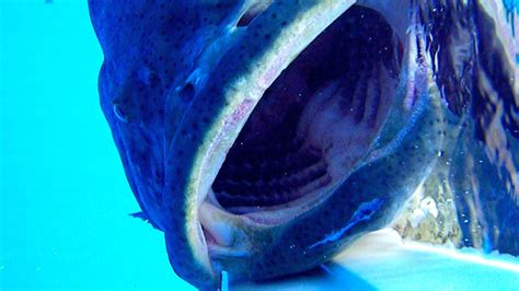 grouper goliath giant mouth underwater inside