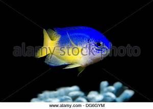 neon damselfish pomacentrus coelestis Stock