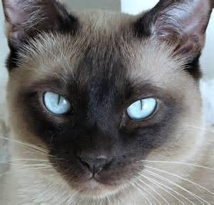 tonkinese cat catlist