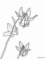 Columbine Coloring Flowers Spring Yellowstone Domain Bitterroot Want sketch template