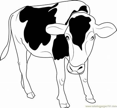 Cow Coloring Pages Angus Drawing Coloringpages101 Pdf