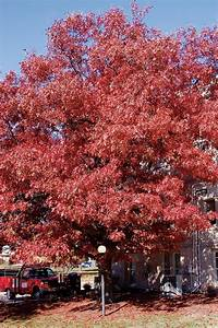 Scarlet Oak | MDC Discover Nature