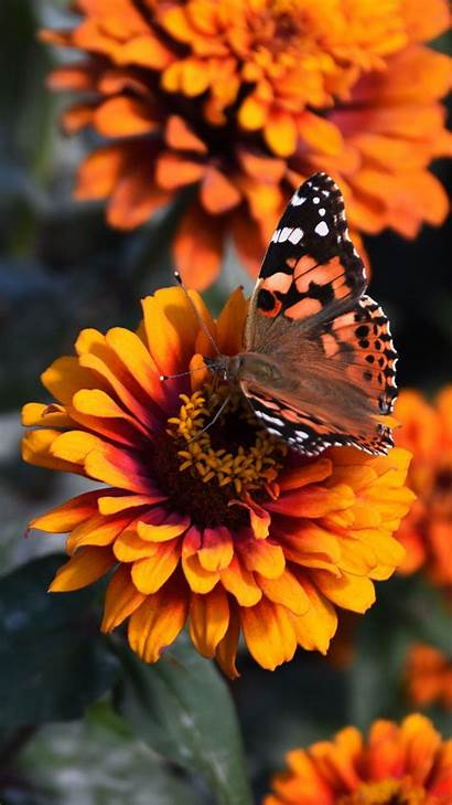 Flower Butterfly Wallpapers Zinnia Pages Lumia Microsoft