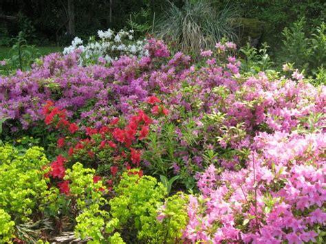 azalea plant care related keywords suggestions azalea