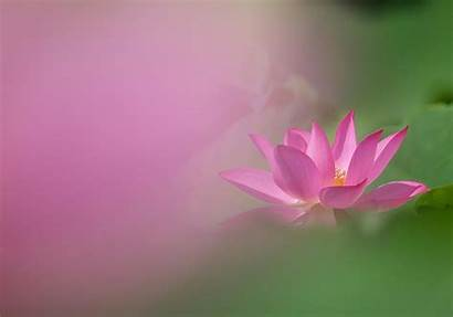 Lotus Wallpapers Background Wall Flowers Earth 1433