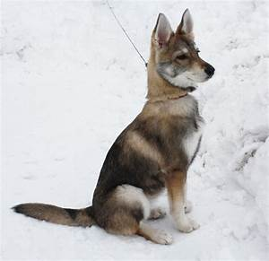 Tamaskan pup, most likely the dog we're getting this ...