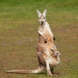 kangaroo dictionary definition kangaroo defined