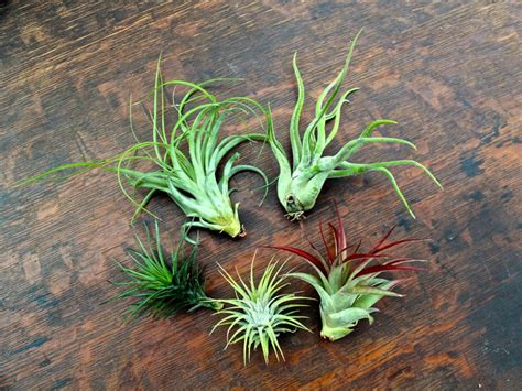 Have You Discovered The Unique Beauty Of The Air Plants?