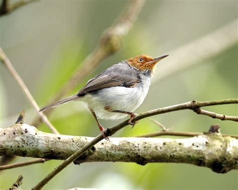 ashy tailorbird wikipedia