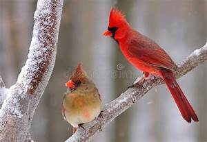 Winter Northern Cardinal Pair (Cardinalis Cardinalis ...