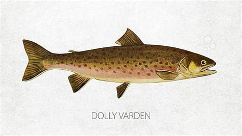 Dolly Varden (With images) | Dolly varden, Dolly, Digital ...