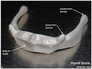 Hyoid Bone  Anterior View With Labels