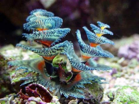 saltwater aquarium fish  marine tropicals