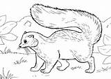 Skunk Coloring Pages Opossum Print sketch template