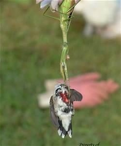 Animals eating Animals: Is is true Praying Mantis eat each ...