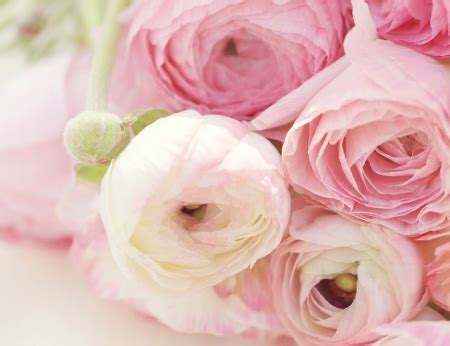 ranunculus flowers nature background wallpapers