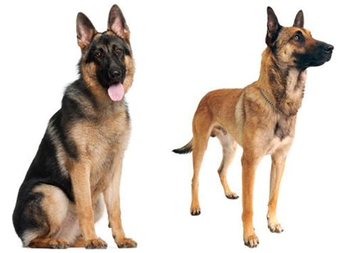 Belgian Malinois Difference German Shepherd
