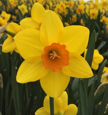 New Daffodil To Celebrate The Queen's 90th Birthday  And It's Only A Year Late!  Amateur Gardening