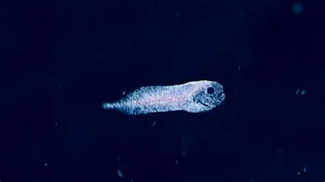 strange deep sea fish  filmed   time