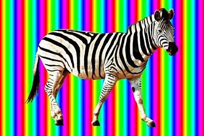 Zebra Animated Rainbow Walking Medium Amazing Animals