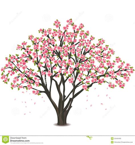 Japanese Cherry Tree Blossom Over White Stock Photo