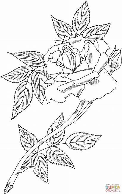 Rose Rosen Sunset Ausmalbilder Blumen Ausmalen Zum