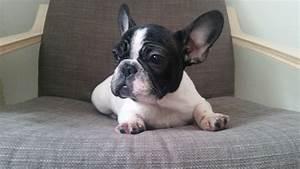 Beautiful Black and White French Bulldog Baby Girl ...