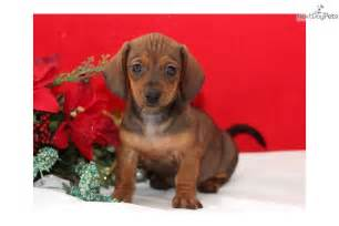 Free Dachshund Puppies for Sale